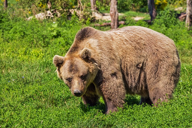 Bären in Alutaguse