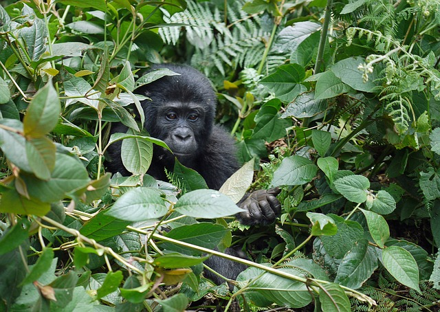 Gorillas im Bwinidi Inpenetrable Nationalpark