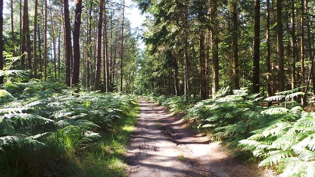 Waldweg zum Darßer Weststrand