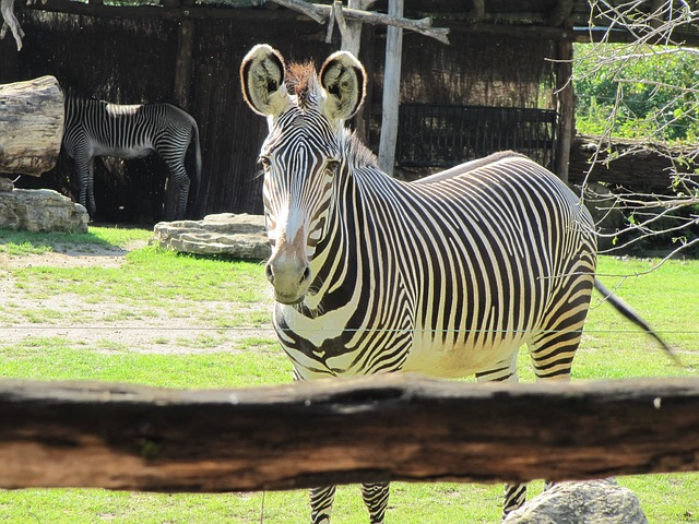 Zebras in Afrika vom Zoo